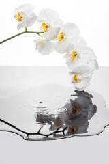 Białe kwiaty orchidei odbijające eis w pofalowanej kałuży. Storczyk i krople w padające do wody.