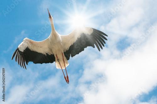 Leinwandbild Motiv Weißer Storch fliegt in blauem Himmel mit der Sonne im Rücken