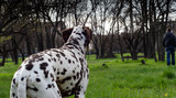 adult dog breed Dalmatian looks at the leaving man