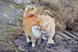 Cats couple falling in love. Two domestic cats together a very relationship outdoors.