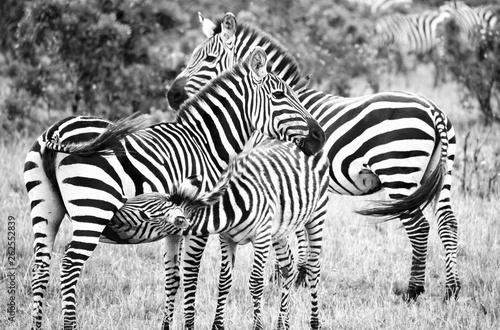 B&W family of zebras