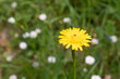 Yellow dandelion on a background of green grass and white flowers