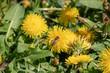 canvas print picture - Biene beim Nektar sammeln auf Löwenzahn