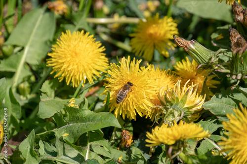 canvas print picture Biene beim Nektar sammeln auf Löwenzahn