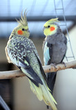 Beautiful pair of parrots sitting next to the cage