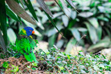 green lory parrot with blue head between leaves