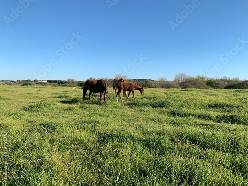 Cavalos a pastar