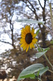 yellow sunflower with green leaves