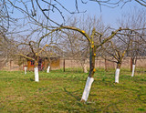 Fruit-trees in a garden after whitewashing. Spring