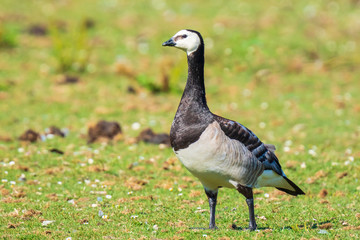 Closeup of a barnacle goose Branta leucopsis in a meadow © Sander Meertins