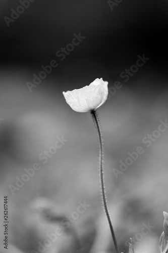 Poppy flower in spring - 262617444