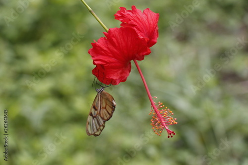 butterfly taking nectar from a flower. - 262641645
