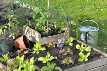 tomato plants and lettuce in a vegetable garden with waterin can
