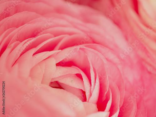 pink rose petals - 262700224