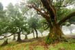 Old cedar tree in Fanal forest - Madeira island. Portugal. - 262730267