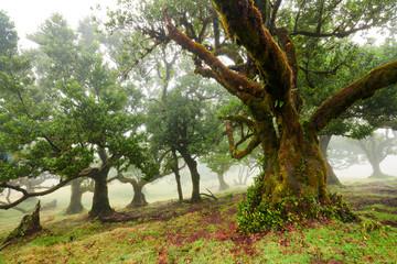 Old cedar tree in Fanal forest - Madeira island. Portugal.