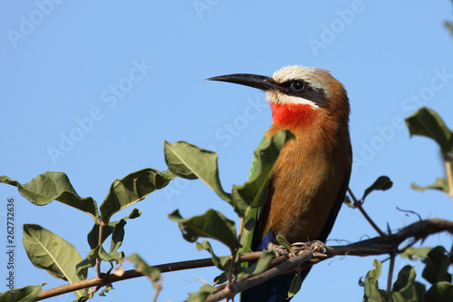 canvas print picture Weißstirnspint / White-fronted bee-eater / Merops bullockoides