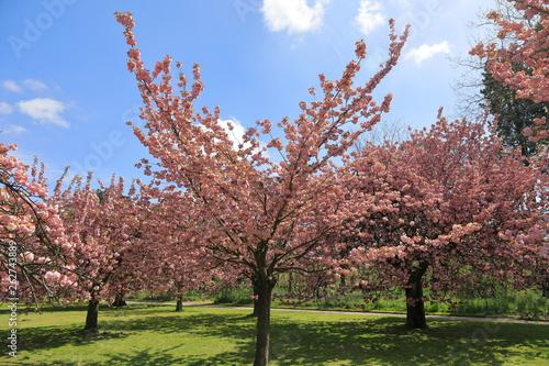 Cherry tree blossom in Parc de Sceaux - Ile de France - Paris region - France