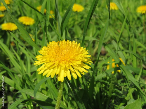 Spring flowers, blooming dandelions on green grass in sunny day. Background for spring season, meadow with wildflowers - 262748440