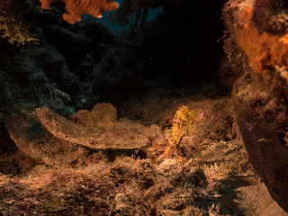 Seascape of coral reef in the Caribbean Sea around Curacao at dive site Playa Piskado with yellow Seahorse © naturepics