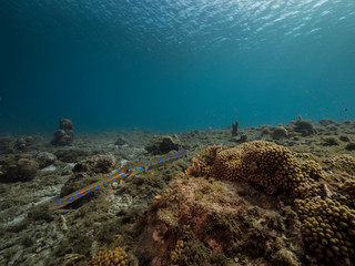 Seascape of coral reef in the Caribbean Sea around Curacao at dive site Playa Piskado with Cornetfish © naturepics
