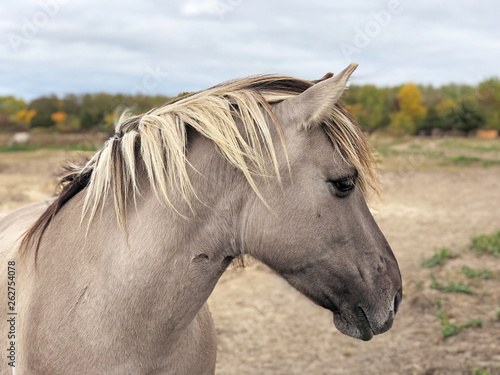 Konik, Pferd, Pony