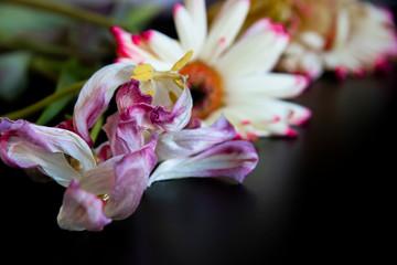 Verwelkte Blumen Tulpe und Gerbera