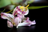 Rosa Tulpen verwelkt