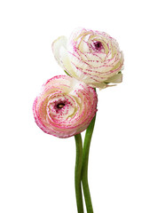 Two ranunculus flowers