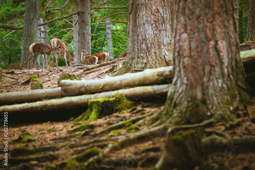 family of deer eating in the forest