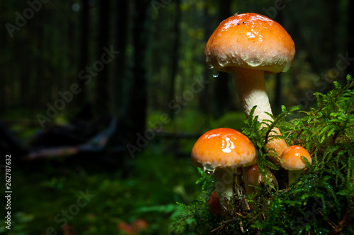 Mushroom close-up in the forest