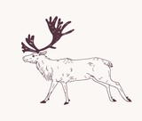 Male deer, reindeer or stag with gorgeous antlers hand drawn with contour lines on light background. Decorative drawing of graceful forest ruminant animal, side view. Monochrome vector illustration.
