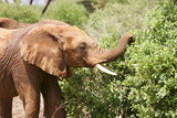 African Elephants in Kenya Africa