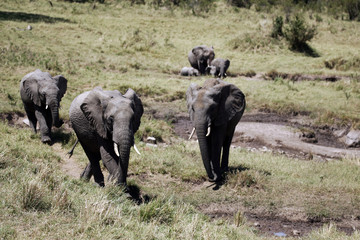 African Elephants in Kenya Africa