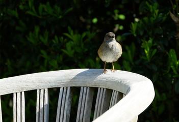 Heckenbraunelle,Vogel,Singvogel,