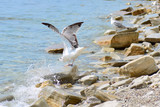 A seagull sits on the coastal stones spreading its wings. The wave hits the shore. Sea spray. Concept - vacation at sea