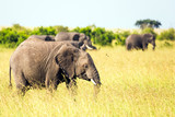 African elephants in the tall grass