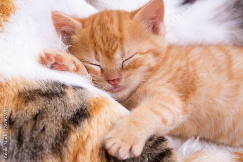 Pet animal; cute kitten baby cat indoor.