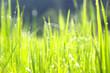 Leinwandbild Motiv Green grass droplets