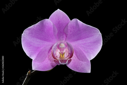 Pink orchid flower on a black background. Macro. - 262822880