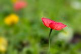 Poppy flower in spring