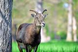 Mouflon Ovis Aries Musimon Portrait