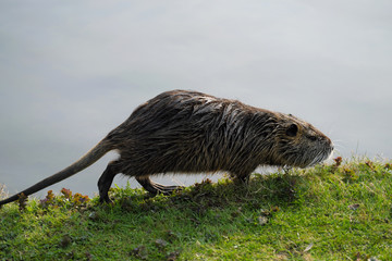 Biberratte Nutria in der Bonner Rheinaue - Stockfoto © Westwind
