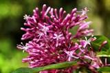 Beautiful Fuchsia paniculata flower in the garden