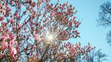 wunderschöner blühender Magnolienbaum im Frühling