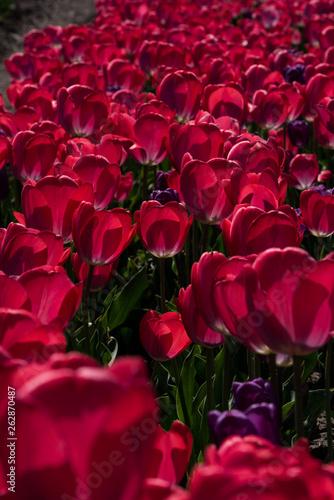 Pink tulips field in Ukraine © Liubov