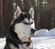 Dog breed Siberian Husky portrait in nature on winter