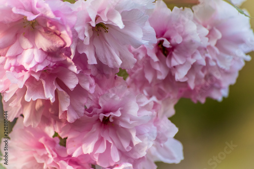 Beautiful pink blossom flower on a tree in a spring - 262880444