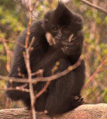 Black Monkey portrait - eye to eye (nervous, biting nails) © Devon