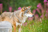 Large Male Wolf Standing On Field In Forest